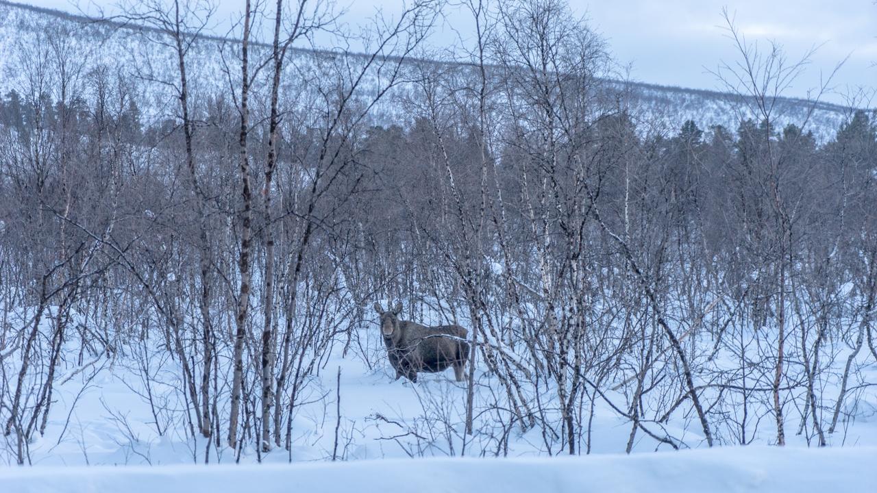 Roadtrip Noordkaap Finland eland
