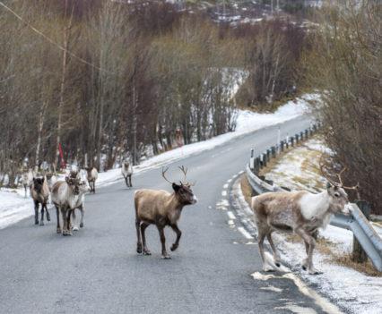 Roadtrip Noordkaap Noorwegen Helgelandskysten rendieren