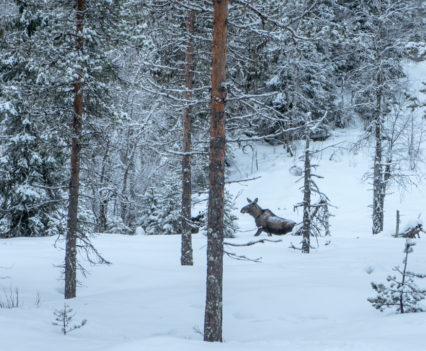 Roadtrip Noordkaap Noorwegen eland